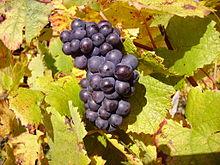 https://en.wikipedia.org/wiki/Pinot_noir