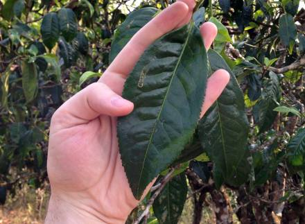 Paul Murray gets a hand on a tea leaf about 6 to 7 inches long – our winner…for now!