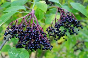 Elderberry wine is produced from elderberries