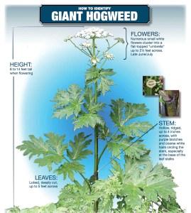 Giant Hogweed Identification