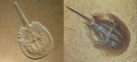 투구게 - 살아있는 화석