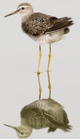 Sandpiper 새 - 도요새의 한 종류 - 연대 측정