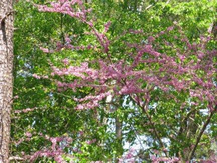Redbud in bloom (Cercis canadensis)