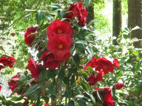 "Red Camellias (Camellia japonica) ""Royal Velvet"""