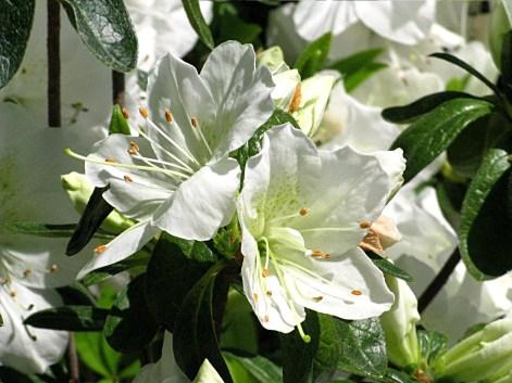 Closeup of White Azaleas, Rhododendron family