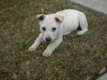 Shiva puppy