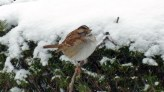 Sparrow at my office, puffed up for warmth