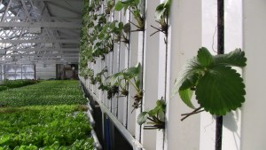 Hanging grow towers - above lettuce crop