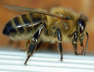 Dunkle Biene im Profil in der Feedingbox | Foto: Emmanuel Boutet