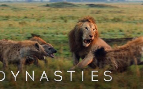 León atacado por una manada de 20 hienas