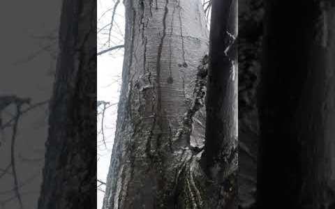 Hielo derritiéndose entre la corteza del árbol y el propio hielo