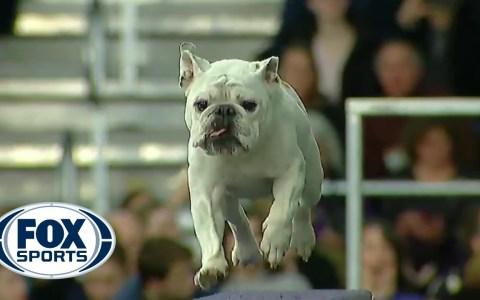 ¿Un bulldog completando un circuito de agilidad?