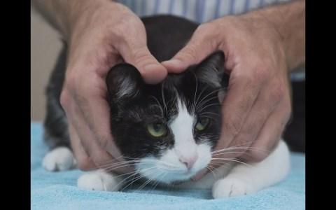 Cómo agarrar a un gato correctamente