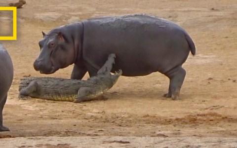 Este hipopótamo quiere jugar con su colega, pero las 20 dioptrías en cada ojo no le permiten ver que es... UN COCODRILO