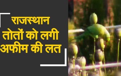 Loros adictos al opio saquean plantaciones de amapola en la India