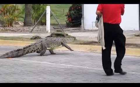 Mientras tanto, en Almería... un cocodrilo