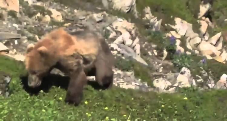 Sí, los osos también sufren ataques al corazón