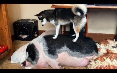 Un husky intentando despertar a un cerdo