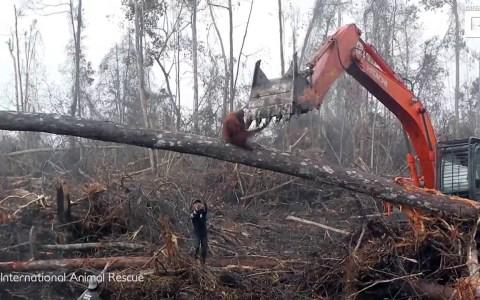 Un orangután se enfrenta a un bulldozer que está destruyendo su hábitat natural