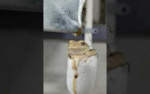 Una rana en un tubo duchándose con las gotas que caen de un aire acondicionado