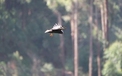 Los halcones controlan tan bien el viento que cuando cazan parecen levitar