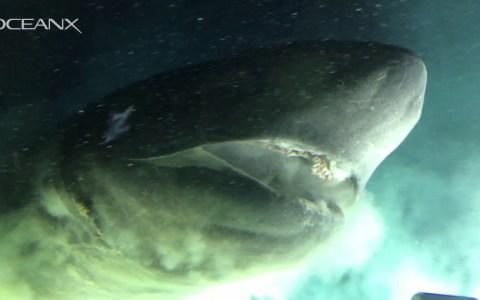 Graban a la especie de tiburón más antigua del planeta: 200 millones de años