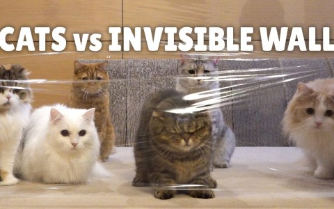 Gatos vs muro invisible de plastiquete