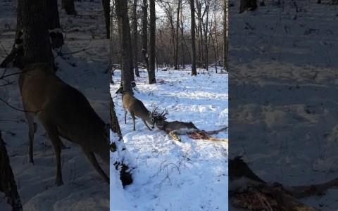 Dos personas se encuentran a un ciervo con los cuernos enredados en otro ciervo muerto