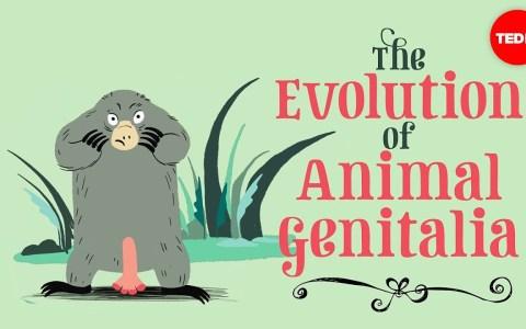 La evolución de los genitaIes de los animales