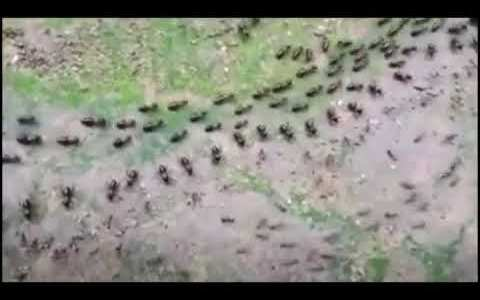 """Termitas y hormigas separadas por una línea de soldados de ambos """"ejércitos"""""""