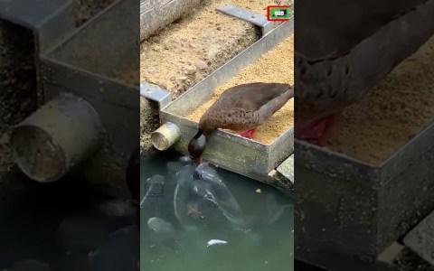 Un pato dando de comer a sus... ¿PECES?