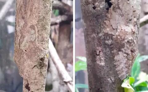 El gecko cola de hoja satánico se camufla tan bien que aún sabiendo dónde está, cuesta verlo