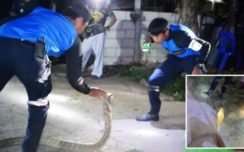 Así capturan una cobra real de 3,6 metros en Tailandia