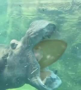 ¿Sabías que los hipopótamos pueden abrir sus bocas más de 150 grados?