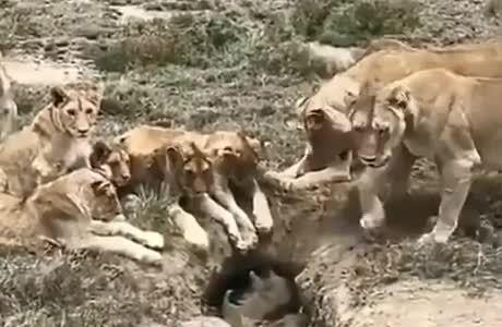 Venga Pumba, sal, que solo queremos ser tus amigos...