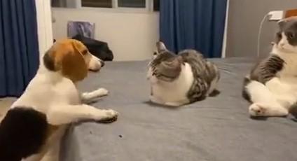 Los gatos son capaces de calcular la distancia a la que pueden llegar los ataques de su enemigo, y tratarle con total indiferencia