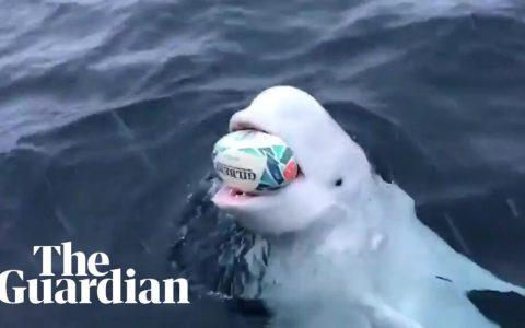 Los humanos flipando porque una Beluga salvaje juega con ellos a tirar la pelota y recogerla, y ella en realidad lo que quiere es sacar basura del mar...