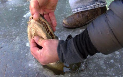 Así sobreviven los aligátores cuando las aguas en las que viven se congelan