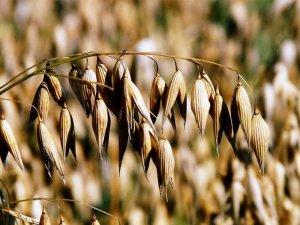oats 8946 960 720