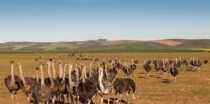 Ostriches SC 1