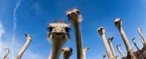 Ostriches SC 91