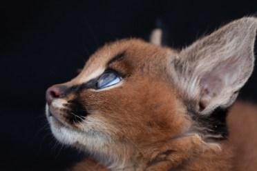 caracal kittens 9 weeks-13
