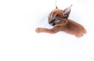 caracal kittens 9 weeks-3