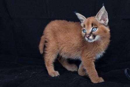 caracal kittens 9 weeks-9