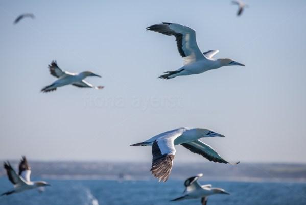 Cape gannets flying