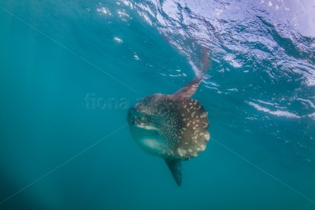 AT LAST! I got one, a shot of my fave- a sunfish