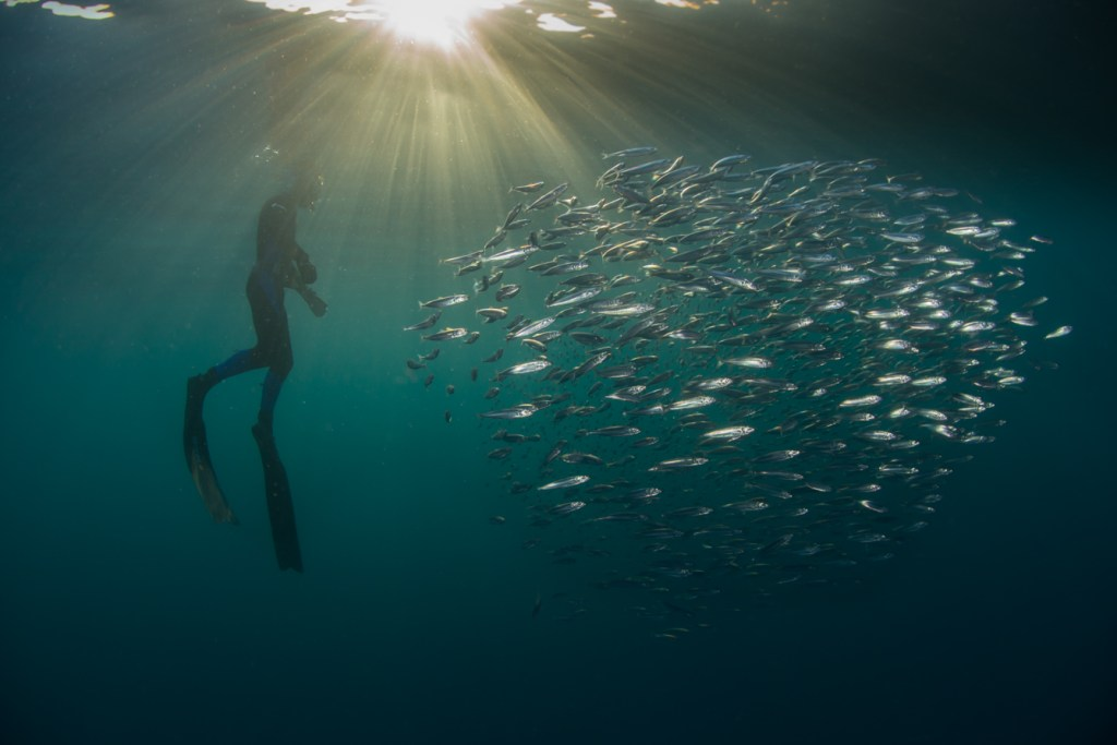 The annual Sardine Run in South Africa is a spectacle worth seeing
