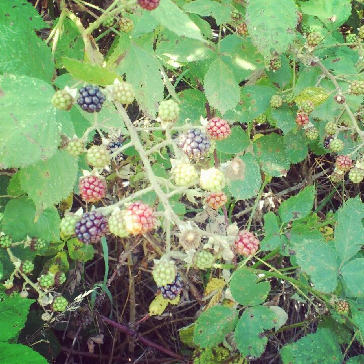 Taking time to go Blackberry picking