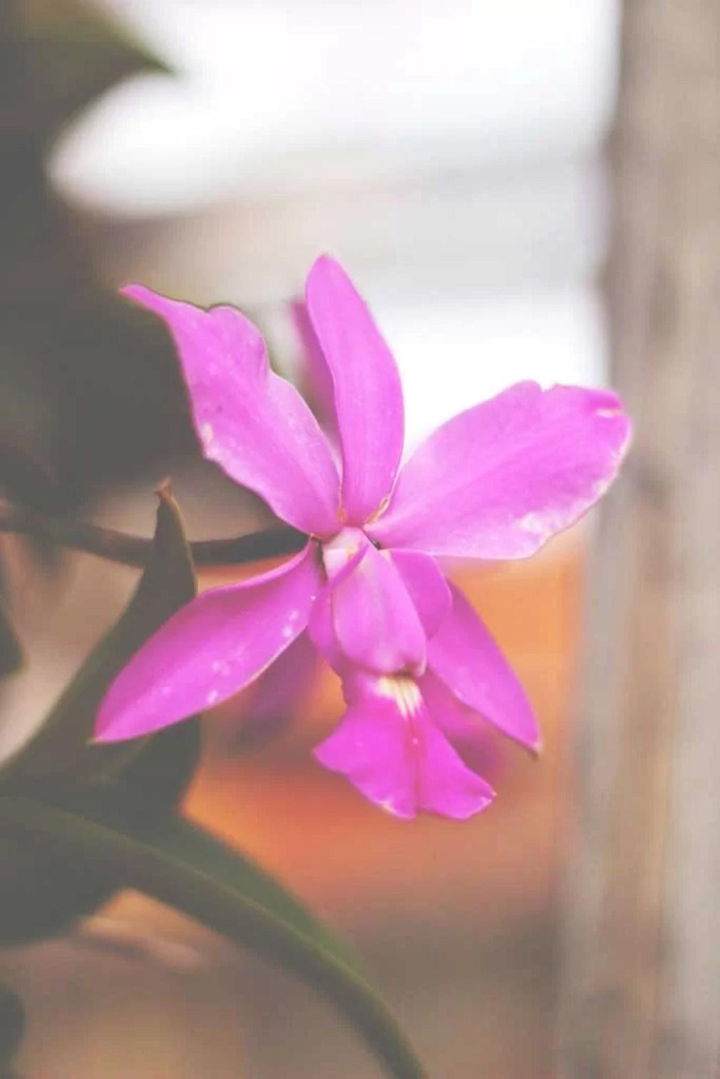 Orquídea esmaecida