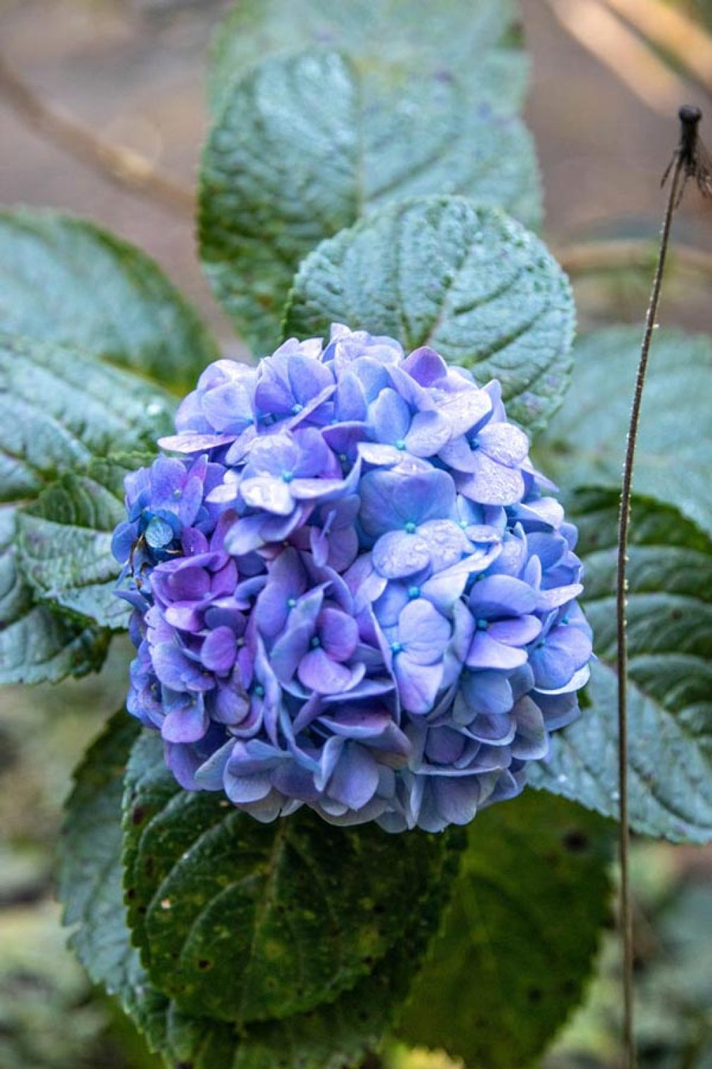 Hortência azul